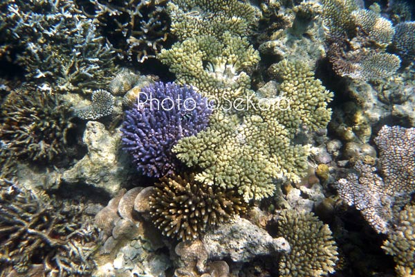 ©sekoia-coraux-ocean-indien-015