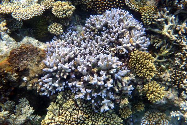 ©sekoia-coraux-ocean-indien-016