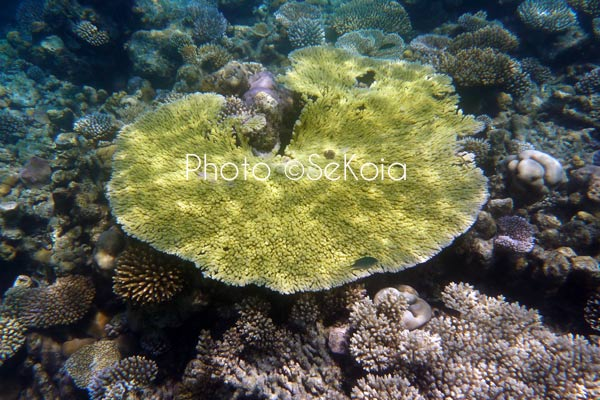 ©sekoia-coraux-ocean-indien-018