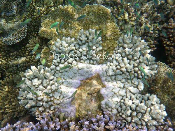 ©sekoia-coraux-ocean-indien-019