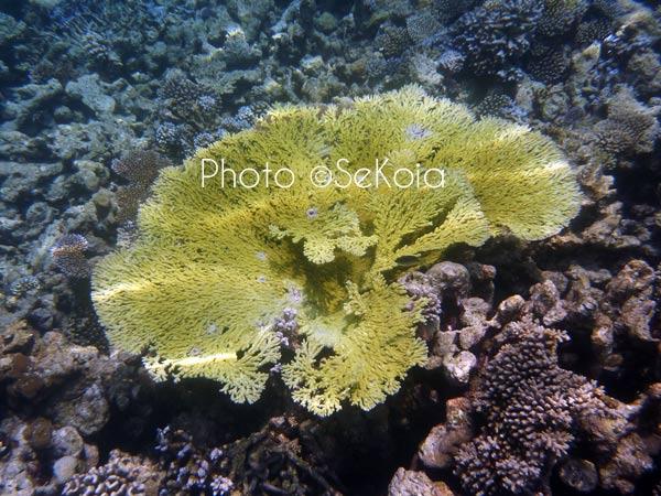 ©sekoia-coraux-ocean-indien-023