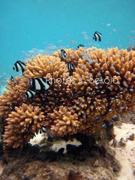 ©sekoia-coraux-ocean-indien-027