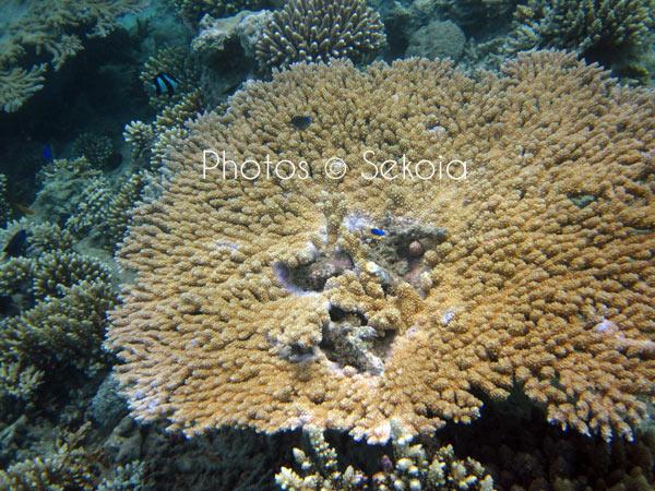 ©sekoia-coraux-ocean-indien-030