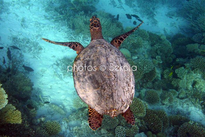 ©sekoia-tortue-marine-001