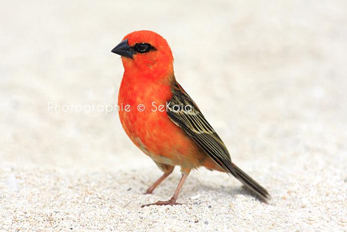 Cardinal-ile-maurice
