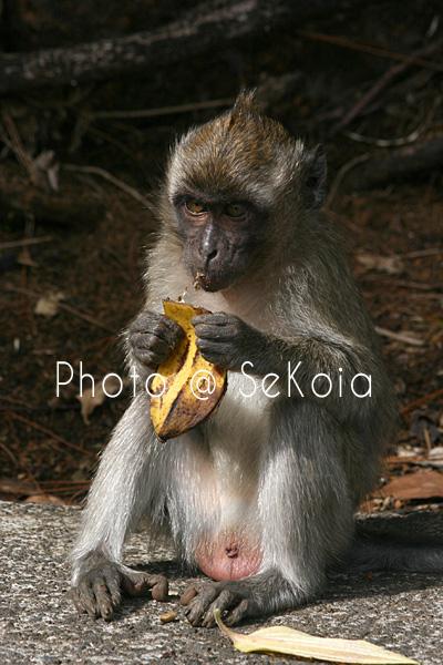 Macaque ile Maurice