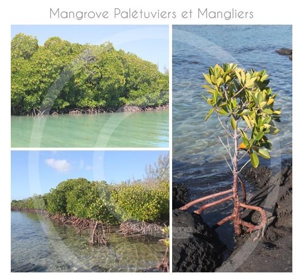 Mangove-ile-maurice-02