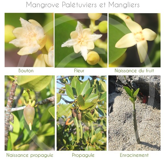 Mangove-ile-maurice-03