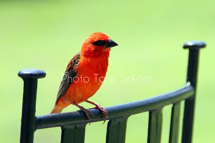 cardinal-ocean-indien-0002