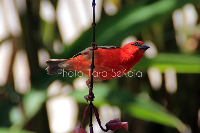 cardinal-ocean-indien-0003