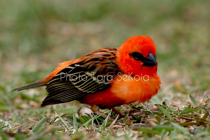 cardinal-ocean-indien-0004