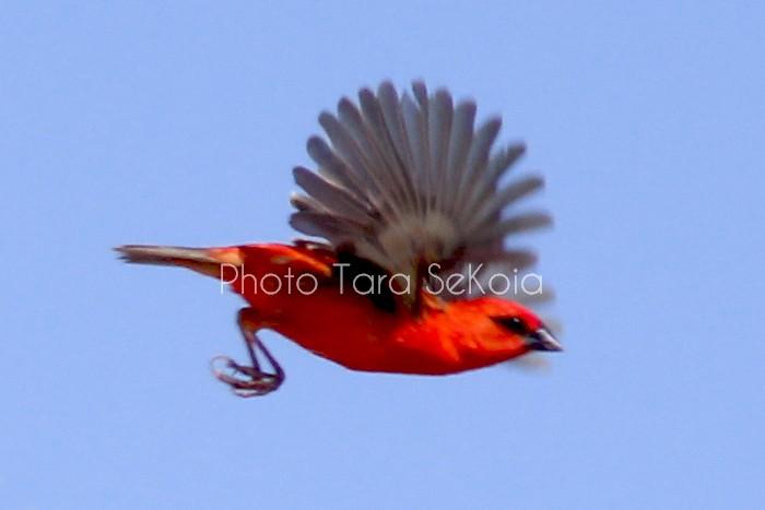 cardinal-ocean-indien-0005