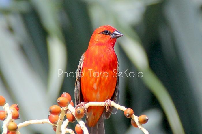 cardinal-ocean-indien-0007
