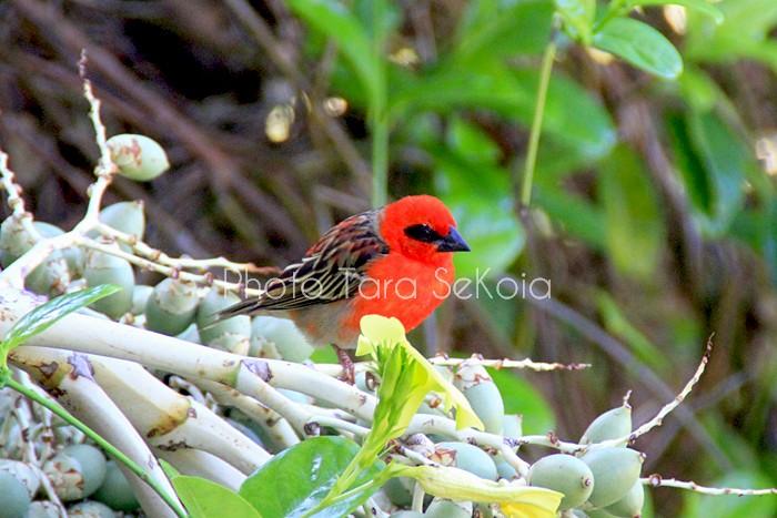 cardinal-ocean-indien-0008