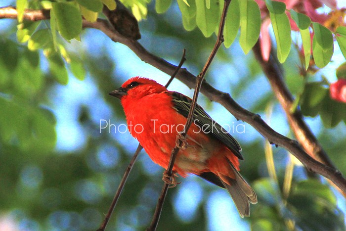cardinal-ocean-indien-0009