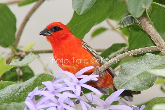 cardinal-ocean-indien-0010