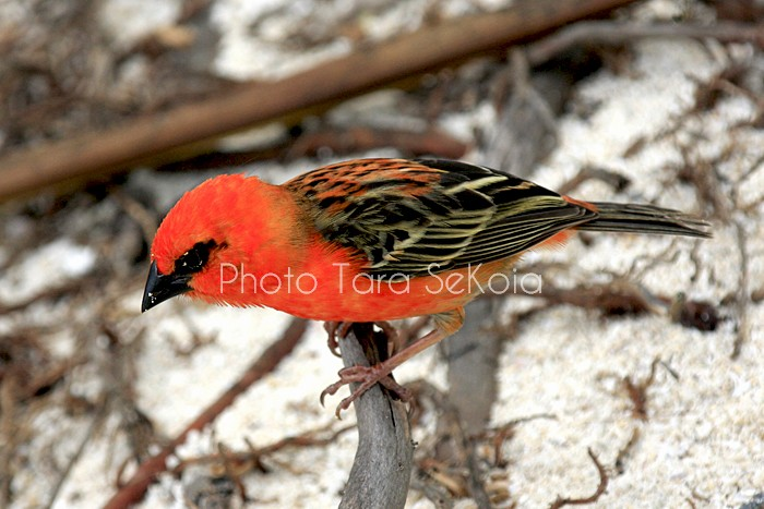 cardinal-ocean-indien-0011