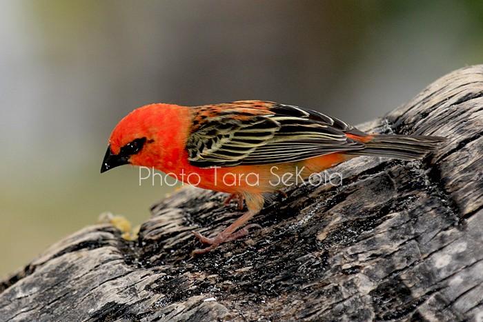 cardinal-ocean-indien-0012