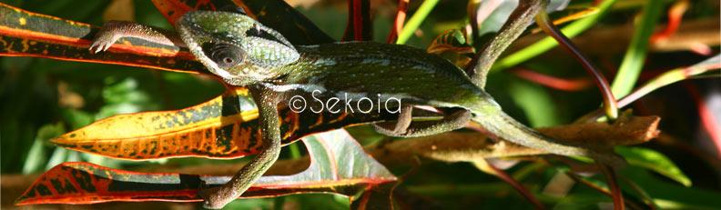 chameleon - caméléon