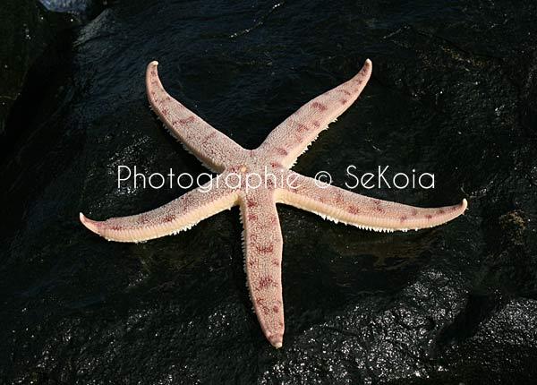 Etoile de mer océan Indien