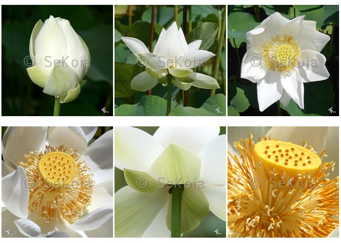 fleur-lotus-blanc