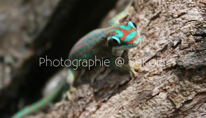 gecko-ile-maurice-002