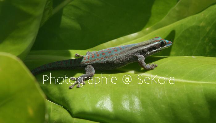 Gecko ile Maurice