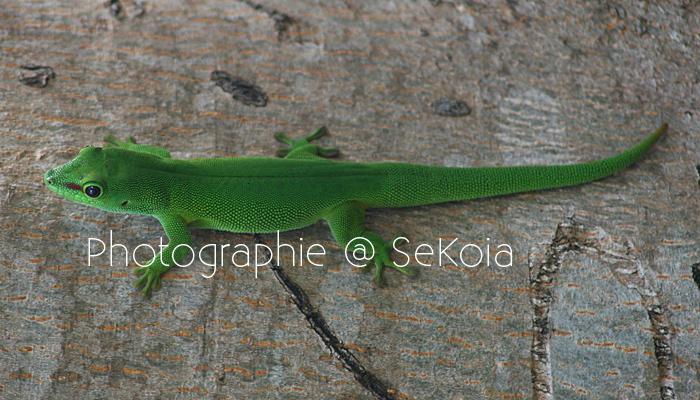 Gecko vert Madagascar