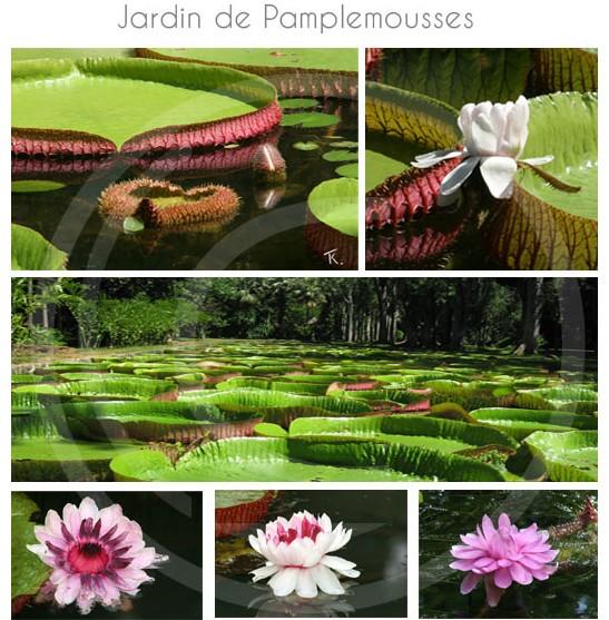 Connu Jardin de Pamplemousse ile Maurice XA81