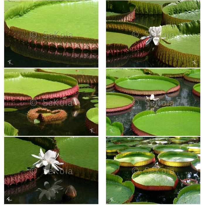 jardin-pamplemousse-ile-maurice