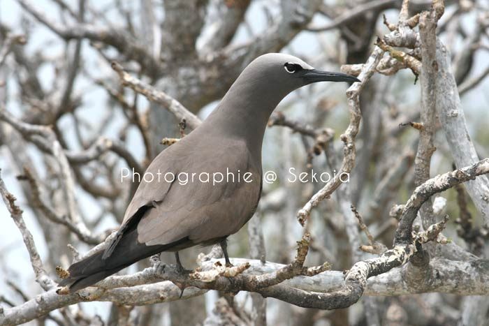 oiseaux-ile-rodrigues-02