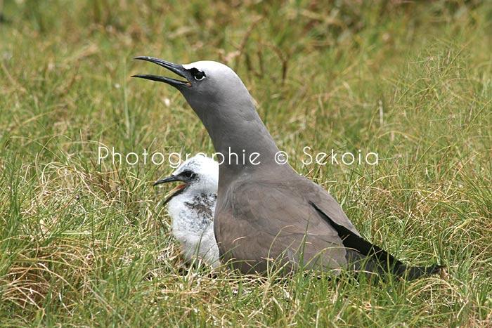 oiseaux-ile-rodrigues-04