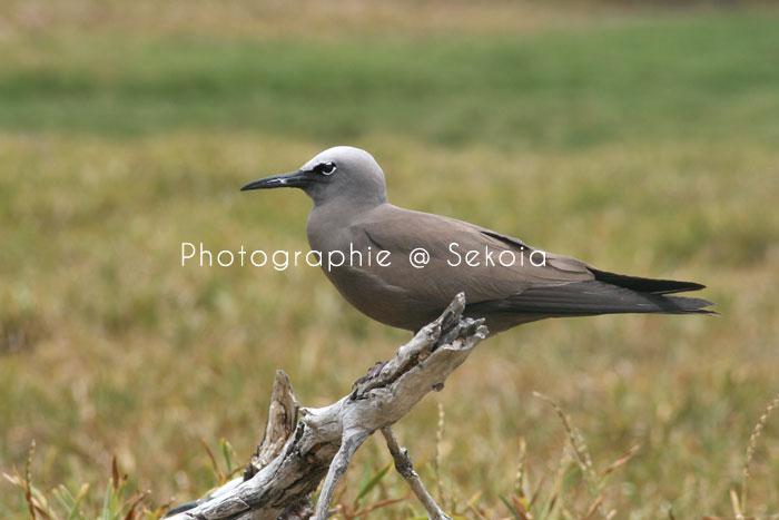 oiseaux-ile-rodrigues