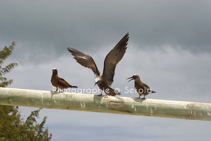 oiseaux-ile-rodrigues-08
