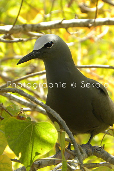 oiseaux-ile-rodrigues-09