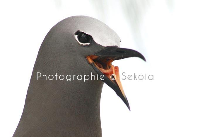 oiseaux-ile-rodrigues-11