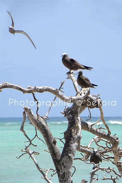 oiseaux-ile-rodrigues-12