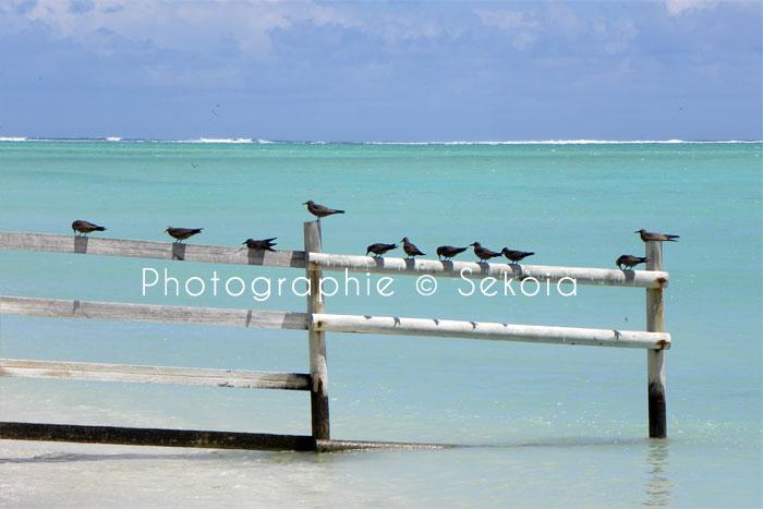 oiseaux-ile-rodrigues-14