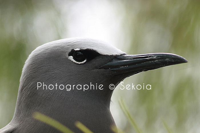 oiseaux-ile-rodrigues-15
