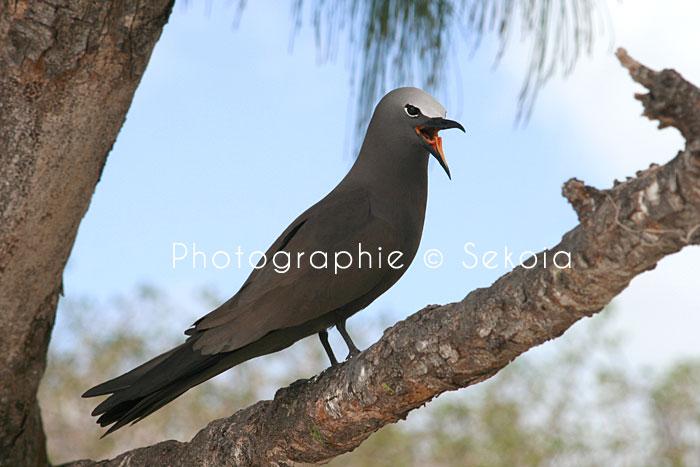 oiseaux-ile-rodrigues-16