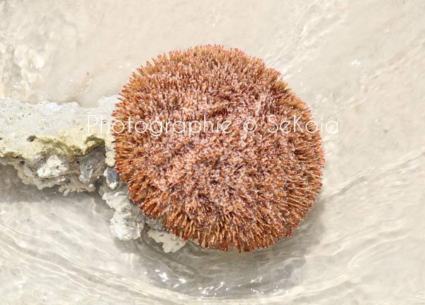 Oursin océan Indien