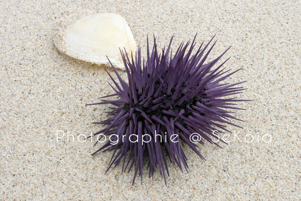 oursin-violet