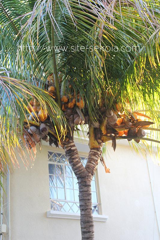 palmier-a-deux-tetes