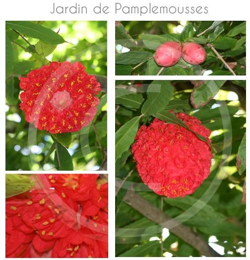 rose-venezuela-pamplemousse
