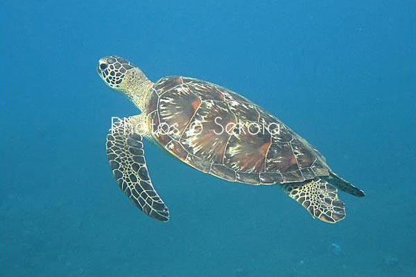 Tortue marine océan Indien