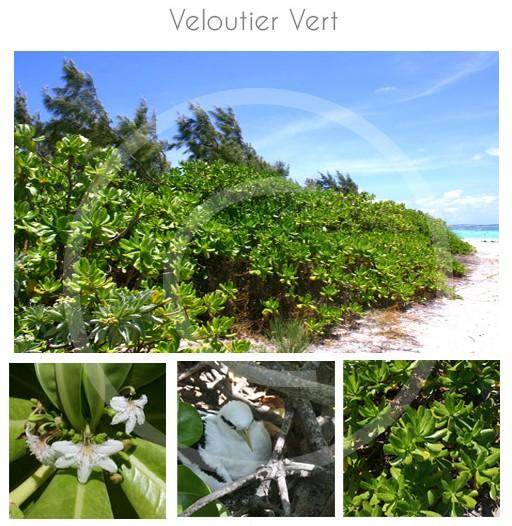 veloutier-vert-ocean-indien